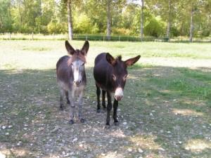 Arthur et Gabin ânes